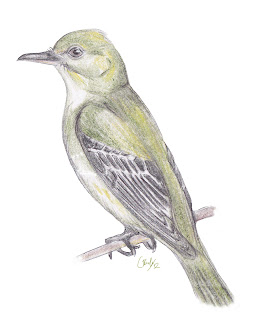 Adult Acadian Flycatcher perching illustration, seen in Happy Valley, King Township.