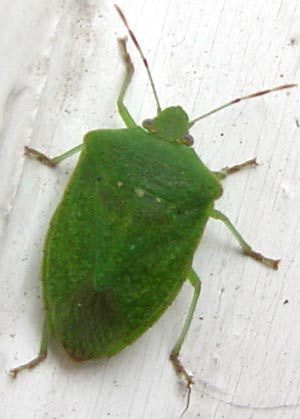La linea d 39 hombre cimici for Cimice insetto