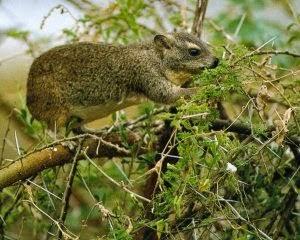 Western tree Hyrax