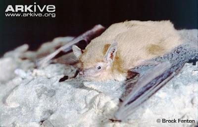 Schlieffen´s Bat