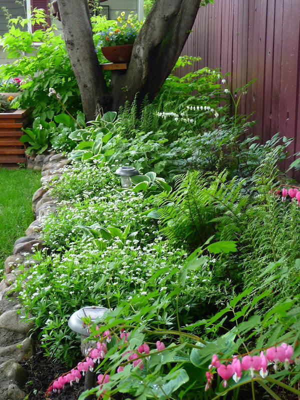 Wind lost the spring of my content my favorite addition to the bed is the groundcover in the front little white flowers called sweet woodruff i think it is my favorite thing in the garden mightylinksfo