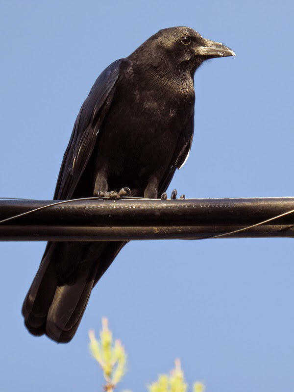 Unfriendly crow on a utility wire