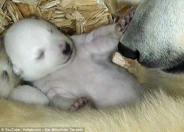 Polar Bear Cubs Open Eyes For First Time, See Their Mom (Video)