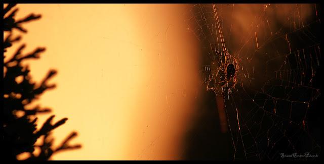 Eine Spinne in ihrem Netz die von dem Abendhimmel erhellt wird