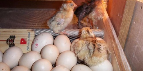 Cara Menetaskan Telur Dengan Mesin Penetas