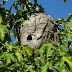 Bald Faced Hornet queen continues to lay worker eggs