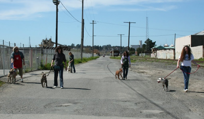 5 women each with a leashed pit bull spread out across a gravelly road