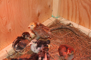 Bigger Brooder Box