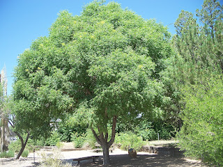 Trees That Please Nursery Shade Trees For Small Spaces