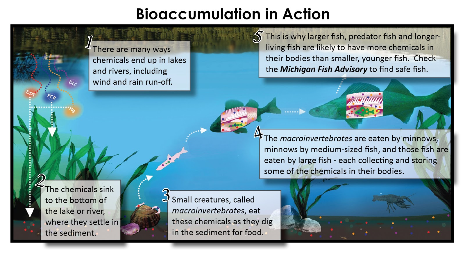 as the fish are eaten by organisms in higher trophic levels this is biomagnification