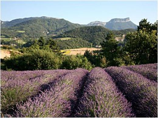 Turismo de francia la ruta de la lavanda en rh ne alpes - Lavanda clima ...