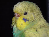 #7 Budgerigar Wallpaper