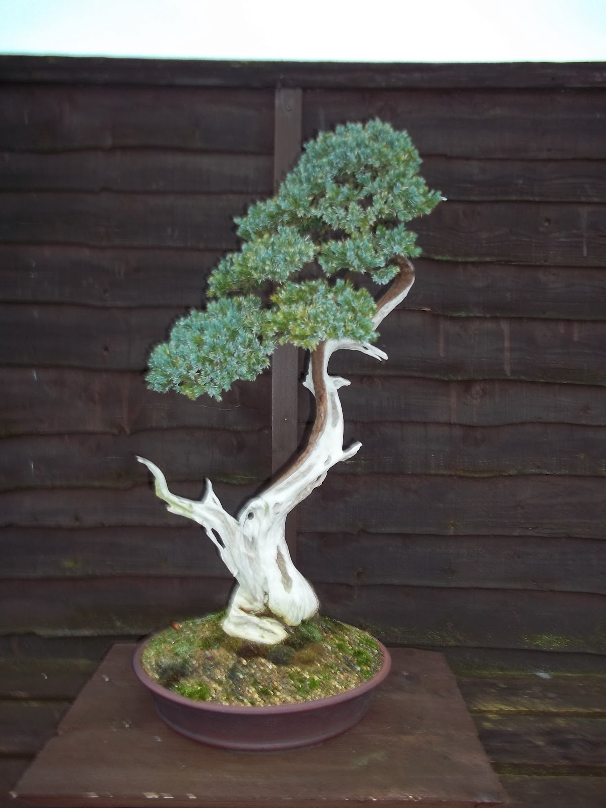 Ronin Bonsai Literati Juniper