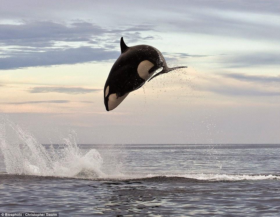 orca caccia delfino