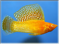 Sailfin Molly Fish Pictures