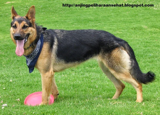Anjing German Shepherd, anjing peliharaan, anjing peliharaan terbaik, anjing herder