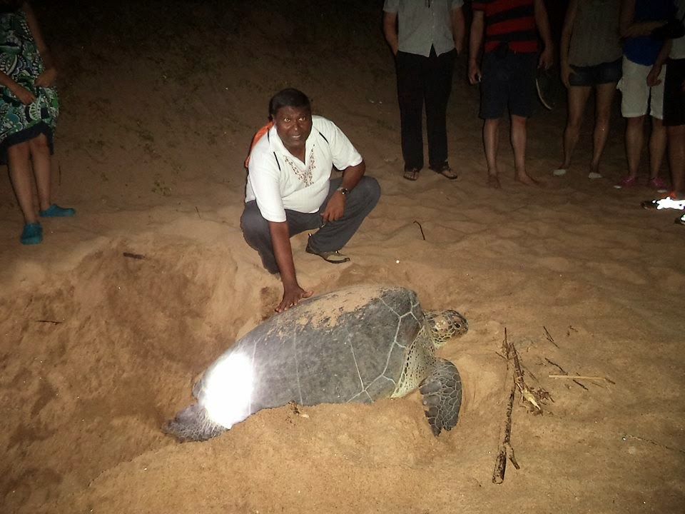 live turtle laying eggs