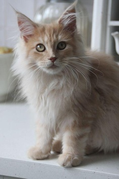 Grooming of Maine Coons
