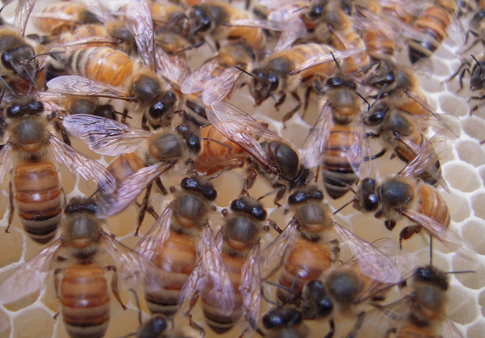 queen bee laying eggs - photo #20