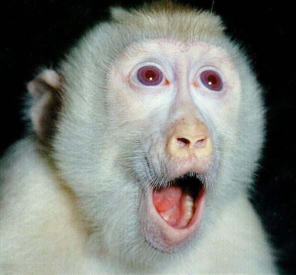 Baby Albino Monkey Albino macaque