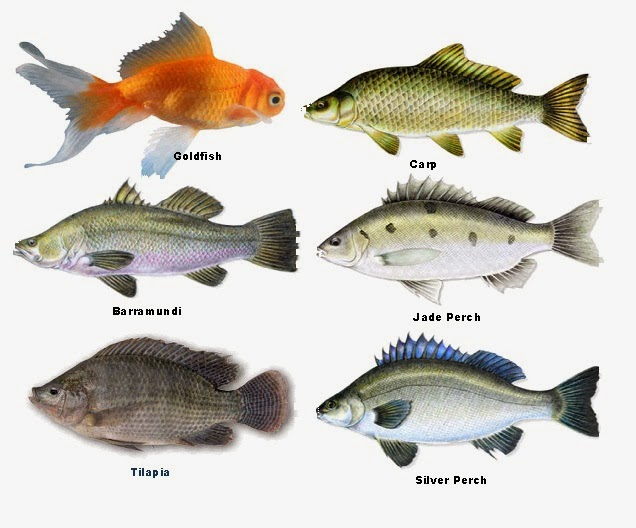 prepper folks types of fish for aquaponics