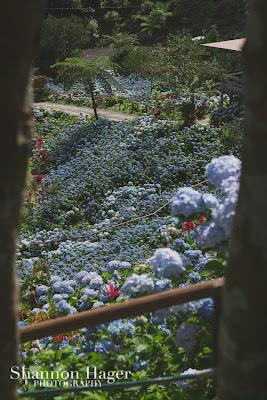 Shannon Hager Photography, Hydrangeas, Okinawa