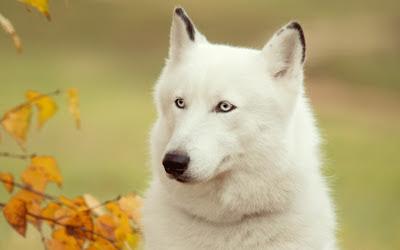 White Wolf Taze Hd 2.013 Duvar Kağıtları