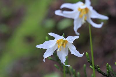 Erythronium montanum (Avanlanche Lily)