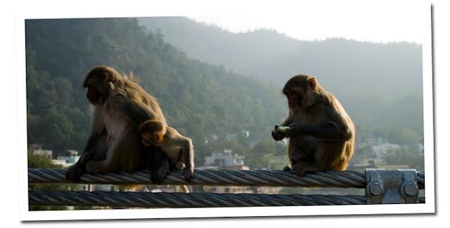 ganges monos
