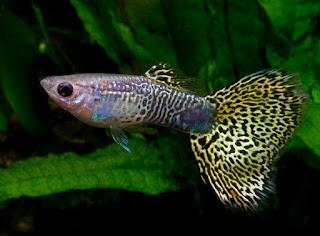 memeliharan Jenis Parasait pada Ikan Hias Air Tawar pada Ikan Cupang, Guppu dan Rainbow