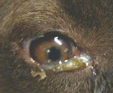 Enfermedades-Caninas