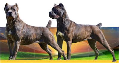 Giống Chó Cane Corso