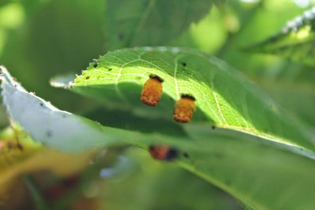 Ladybug pupa stage via www.happybirthdayauthor.com