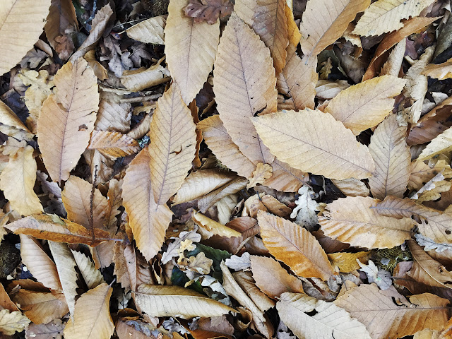 Sweet Chestnut leaves on the ground on Hayes Common, 27 October 2015.