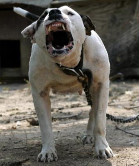 Cães da raça pit bull são agressivos por natureza?