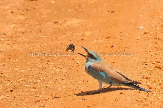 European Roller, Eurasian Roller, Birding Kenya, Wildlife Diaries, Birding Safaris, Wild Kenya Safaris, Kenya Safari