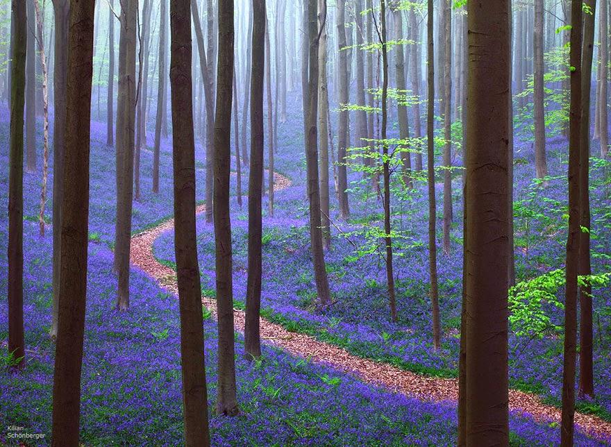 bosque hallerbos en belgica