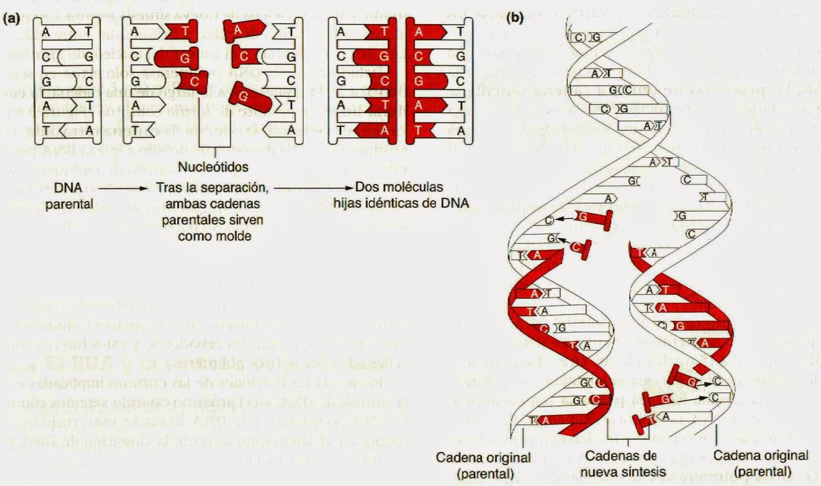 Estructura de los cromosomas, replicación del ADN y genomas ...