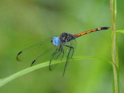 Dragonflies of Costa Rica 9th - 17th July