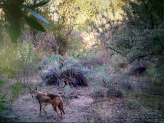 coyote on trail camera