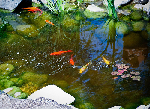 how to keep your fish pond water clear
