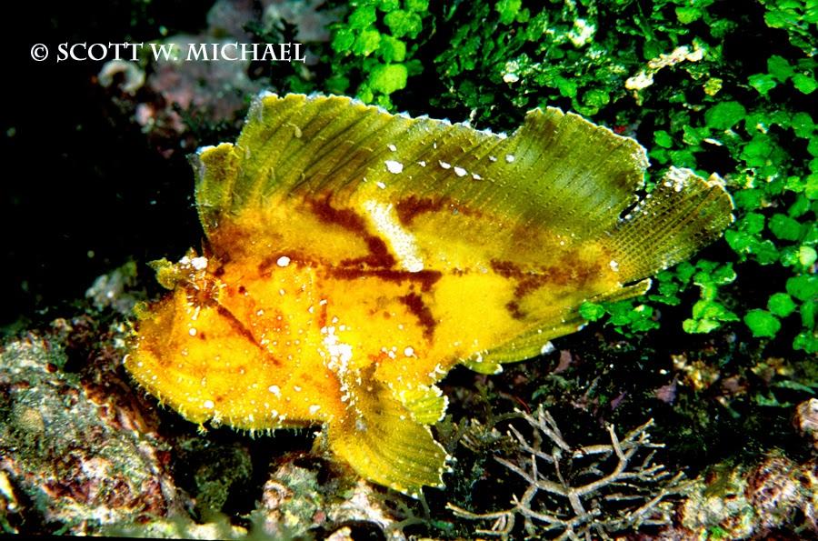 leaf scorpionfish - photo #16