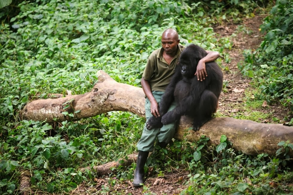 El guarda Patrick Karabaranga protegiendo a un gorila huérfano. Montes virunga. Foto: Phil Moore.