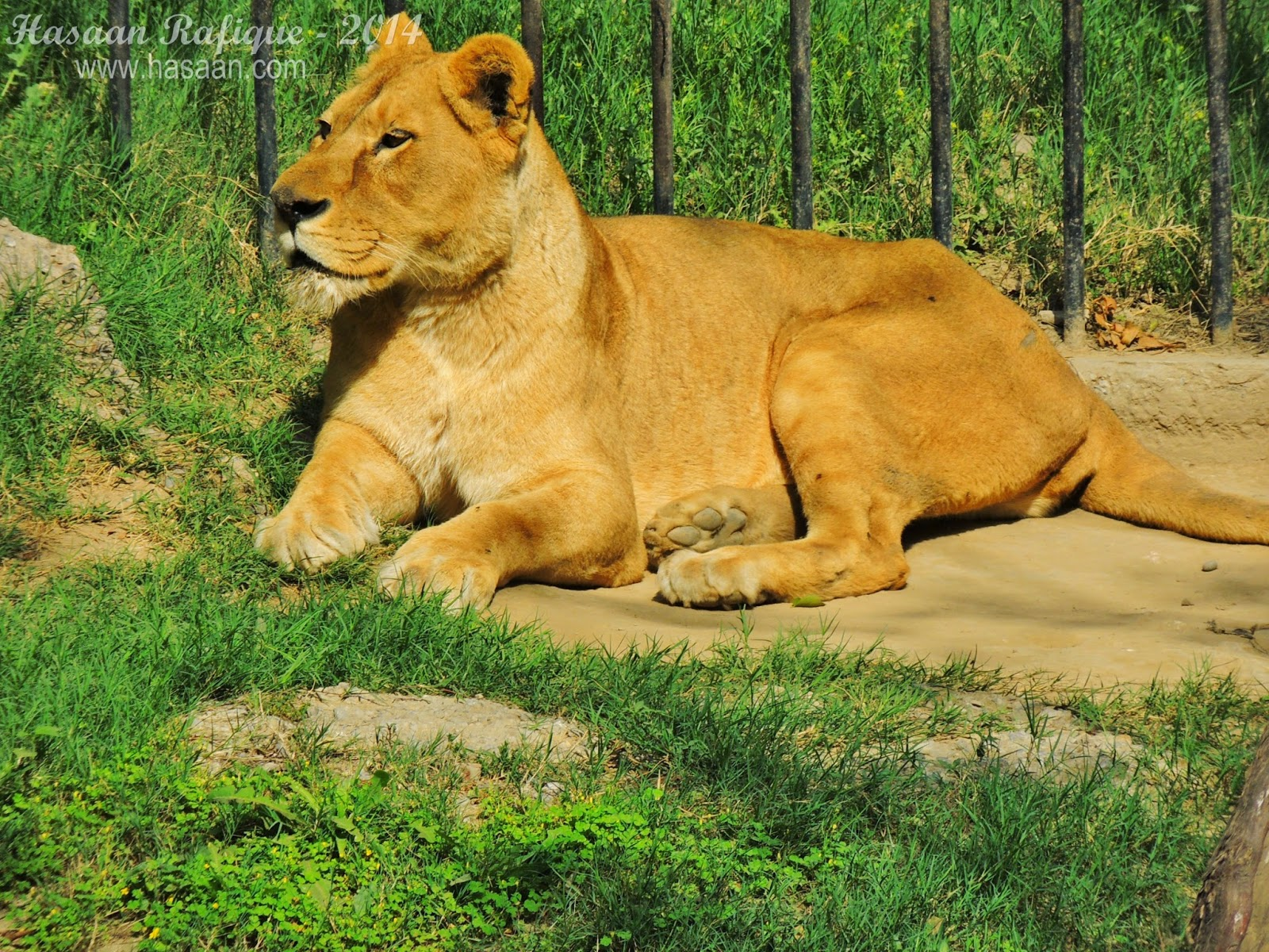 A lioness sitting in the green.