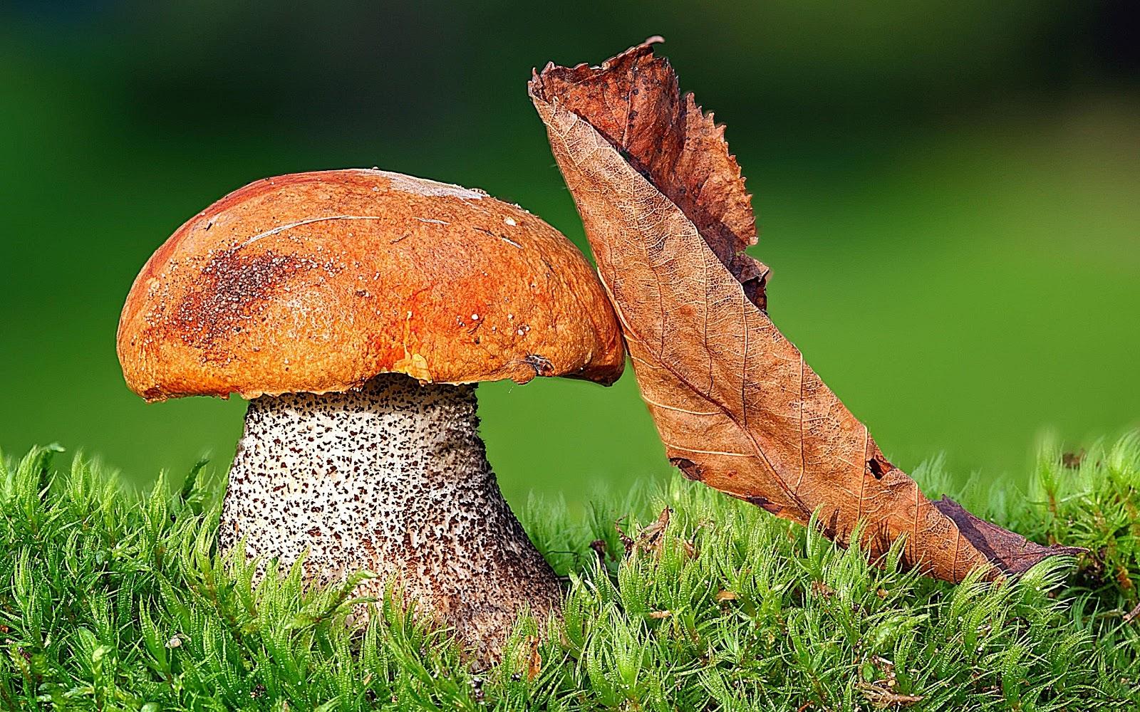 http://1.bp.blogspot.com/-BV2uFKuodvY/TkbU5soSilI/AAAAAAAAIb8/p3mq_tFkfXQ/s1600/mushroom_and_leaf-2560x1600_HD_wallpaper.jpg