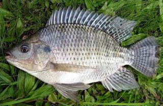 cara budidaya ikan nila di kolam tanah