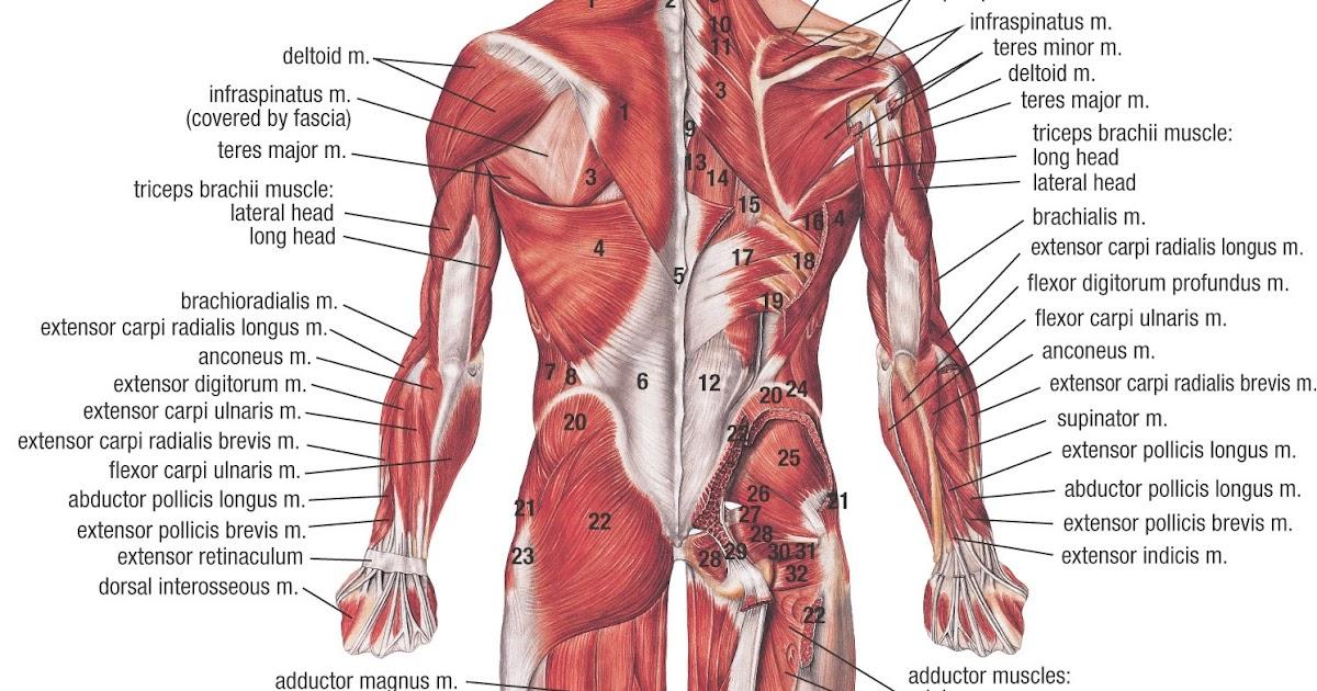 Infinite Wonder Muscular System
