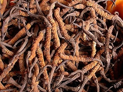 Cordyceps sinensis have been researched and test for used to treat allergy and asthma in clinical