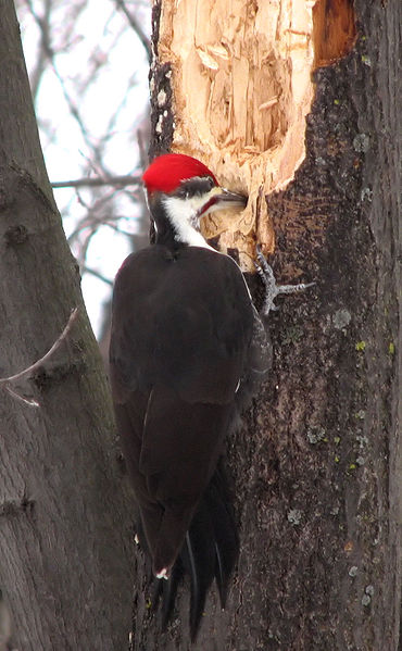 Adirondack Wildlife The Pileated Woodpecker The