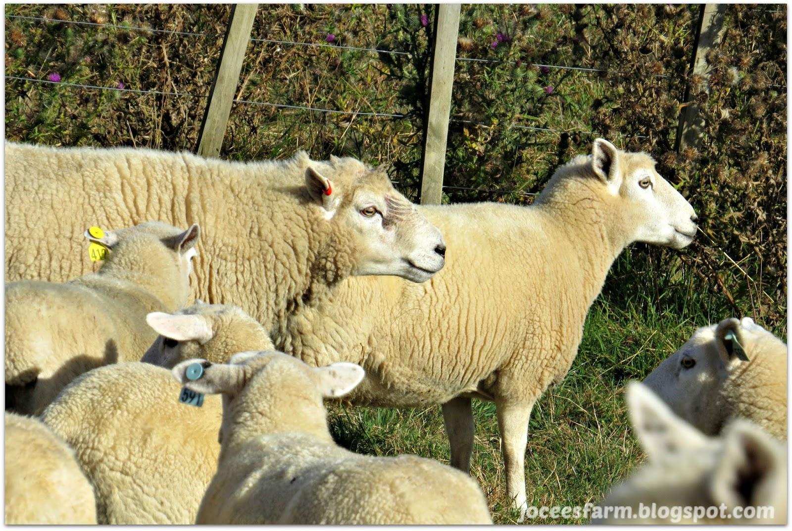 Ram time  -  @joceesfarm.blogspot.com